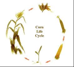 corn life cycle