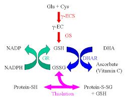 glutathione pathway