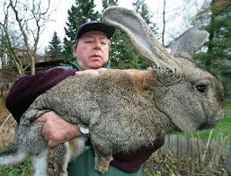 giant rabbits as pets