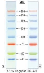 fermentas protein ladder