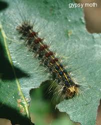 caterpillar pests