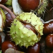 horse chestnut pictures