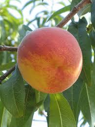 peach plums