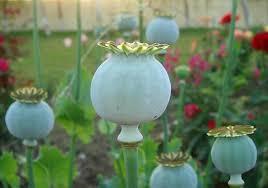 opium poppy seed