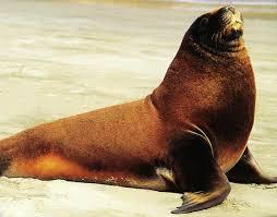 antarctic sea lions