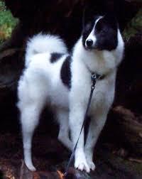 karelian bear dog pictures
