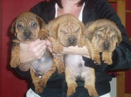 chinese puppies
