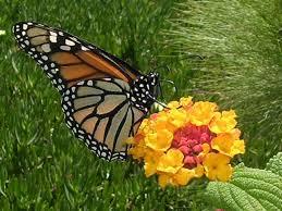 las mariposas monarcas