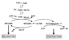 myosin light chain kinase