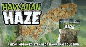 hawaiian haze legal bud