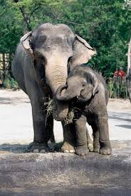 elephant predator