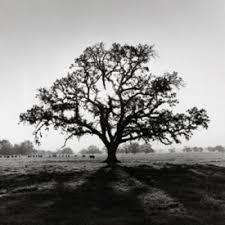 ansel adams trees