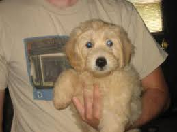 mini english goldendoodle