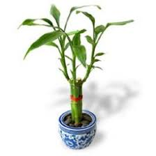 chinese plants