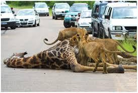 fotos de leones salvajes