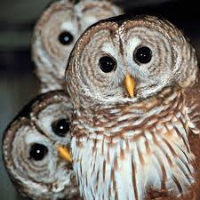owls picture