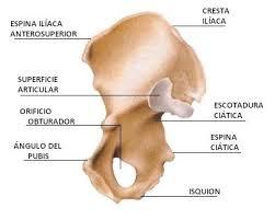 hueso coxal