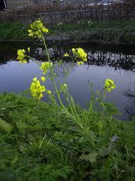 brassica rapa fast plant