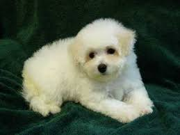 french bichon