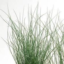 juncus grass