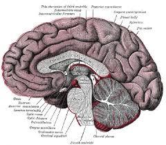 anatomy brain diagram