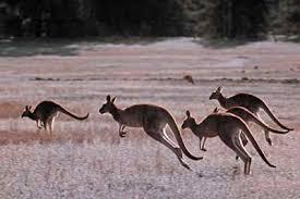 hopping kangaroo