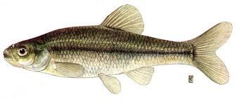 minnow fish