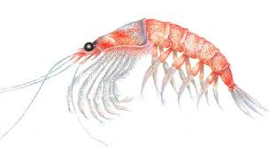 krill shrimp