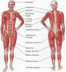 body muscle diagram