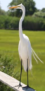 great egret photos