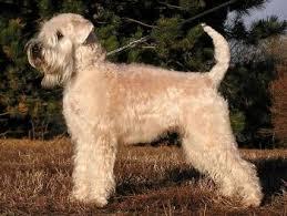 akc wheaten terrier