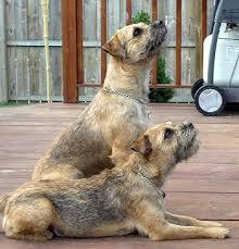 large terrier breeds