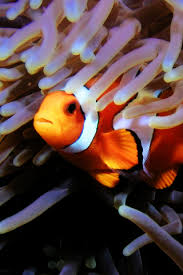 external image ClownFish-64.jpg