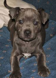 blue staffordshire bull terriers for sale