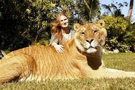 national geographic liger
