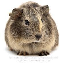 gp the guinea pig