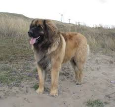 leonberger pictures
