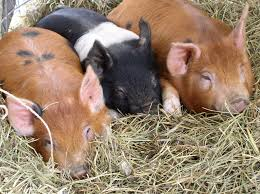 pigs on the farm