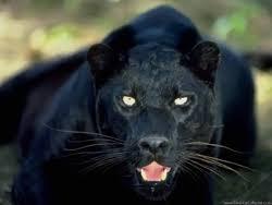 black panthers animal