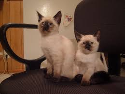 long haired siamese kittens
