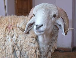 تقول لمين كل سنة وانت خروف أ.أ.أ.أ.أ. وانت طيب 2152220509_5f159df5f1