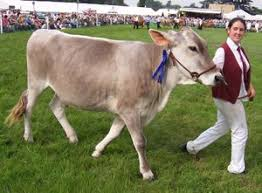 brown swiss dairy cow