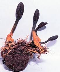 cordyceps ophioglossoides