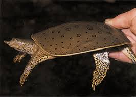 soft shelled turtles