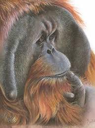 male orangutans