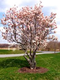 picture of a magnolia tree