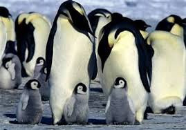 endangered animals penguins