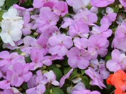 impatiens colors