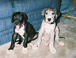 free great dane puppies