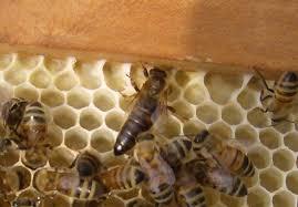 italian queen bees